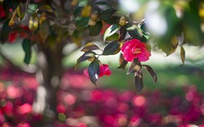 Картинка листья, свет, красота, ветка, сад, розовые, цветение, деревце, боке, камелия, камелии