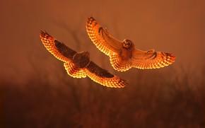 Картинка sunset, fight, short eared owl
