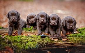 Картинка осень, собаки, листья, природа, фон, дерево, мох, лапки, щенки, коряга, бревно, малыши, компания, лабрадор, коричневые, …