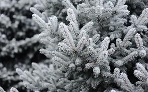Картинка зима, снег, елка, winter, snow, spruce, frost, fir tree, ветки ели