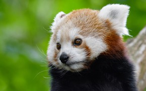 Картинка взгляд, морда, крупный план, портрет, глазки, красная панда, зеленый фон, миленький, малая панда