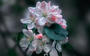 Картинка ветка, весна, лепестки, яблоня, цветение, боке