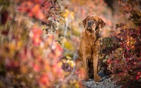 Картинка осень, взгляд, морда, листья, свет, ветки, природа, поза, фон, листва, портрет, собака, лапы, сидит, лабрадор, …