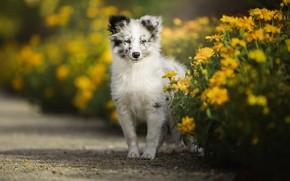 Картинка белый, взгляд, морда, цветы, поза, портрет, собака, желтые, сад, малыш, дорожка, щенок, клумбы, пятнистый, австралийская …