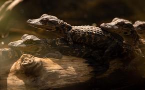 Картинка крокодил, крокодилы, бревно, трио, детеныши, выводок, крокодильчики