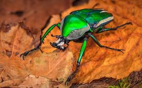 Картинка макро, оранжевый, зеленый, фон, листок, жук, насекомое, блестящий, осенний