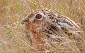 Картинка трава, взгляд, морда, крупный план, серый, фон, заяц, уши, дикая природа