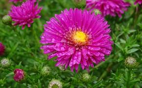 Картинка Капли, Drops, Pink flowers, Астры, Розовые цветы