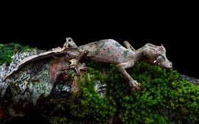 Картинка мох, ящерица, бревно, черный фон, геккон