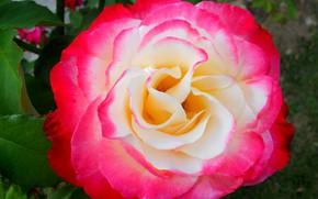 Картинка цветок, роза, лепестки, розовая роза