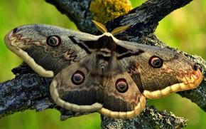 Картинка макро, ветки, зеленый, фон, узор, бабочка, насекомое, серая, кора, крылышки, павлиноглазка
