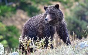 Картинка дождик, взгляд, морда, ветки, природа, мокрый, поза, склон, медведь, мишка, медвежонок, прогулка, молодой, боке, кустарники