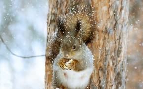 Картинка зима, снег, природа, дерево, животное, белка, ствол, зверёк, грызун
