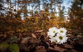 Картинка осень, цветы, ветки, природа, парк, листва, ромашки, букет, белые, хризантемы, боке, осенние листья