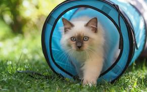 Картинка кошка, лето, трава, кот, взгляд, свет, природа, котенок, корзина, поляна, игра, котёнок, голубые глаза, боке, …