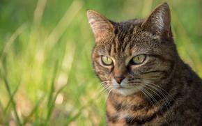 Картинка кошка, трава, кот, взгляд, морда, серый, портрет, полосатый, боке