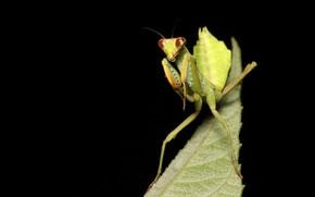 Картинка макро, богомол, насекомое, черный фон
