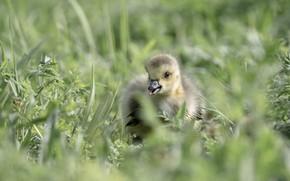 Картинка трава, листья, птица, поляна, малыш, утёнок, утка, птенец, гусь, утенок, птенчик, гусенок