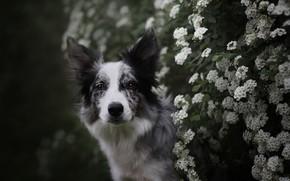 Картинка лето, взгляд, морда, цветы, ветки, природа, темный фон, куст, портрет, собака, сад, белые, цветение, бордер-колли, …