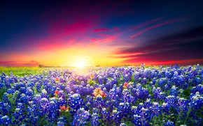 Картинка поле, лето, небо, закат, цветы, луг, ярко, люпины