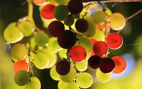 Картинка свет, паутина, плоды, виноград, гроздь, разный, висит