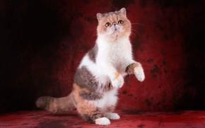 Картинка кошка, кот, взгляд, поза, котенок, лапки, лапы, перс, мордочка, милый, котёнок, красный фон, стойка, выражение, …