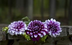 Картинка цветы, фон, георгины