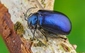 Картинка макро, синий, фон, жук, насекомое, кора, жучок, блестящий, пузатенький