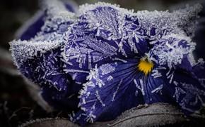 Картинка зима, иней, листья, макро, снег, цветы, лёд, фиолетовые, кристаллы, анютины глазки, фиалки, поздняя осень, заморозок, …