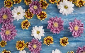 Обои цветы, white, хризантемы, wood, pink, flowers