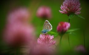 Картинка лето, капли, макро, цветы, природа, бабочка, клевер