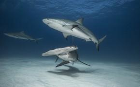 Картинка океан, акула, акулы, акула молот