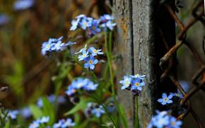 Картинка забор, flowers, незабудки, голубые цветы, мелкие цветы