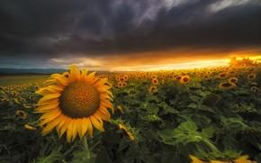 Картинка лето, подсолнухи, закат, природа