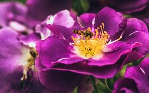 Картинка макро, цветы, муха, шиповник, насекомое, полосатая, сиреневые, мушка