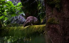 Картинка лес, взгляд, ветки, природа, поза, темный фон, дерево, сова, птица, мох, ветка, ствол, серая, кора, …