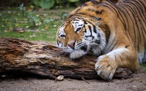 Картинка взгляд, тигр, поза, лежит, бревно