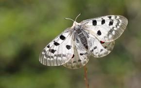 Картинка макро, зеленый, фон, бабочка, насекомое, белая, крылышки, боке, пятнистая