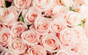 Картинка розы, розовые, много