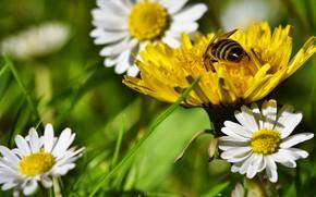 Картинка зелень, цветок, лето, трава, цветы, желтый, пчела, настроение, одуванчик, пыльца, поляна, ромашки, луг, насекомое, белые, …
