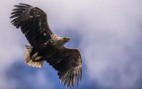 Картинка птица, Белоплечий орлан, Sea Eagle