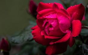 Картинка цветок, роза, бутон, красная, одна