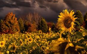 Картинка поле, цветок, лето, свет, деревья, подсолнухи, цветы, тучи, природа, вечер, желтые, освещение, кусты, много, подсолнечник, …