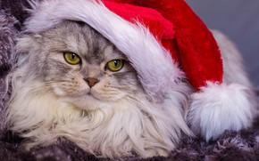 Картинка кот, взгляд, портрет, пушистый, мордочка, колпак, котэ, котофеич
