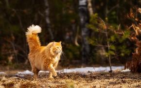 Картинка на природе, рыжий кот, гуляет сам по себе