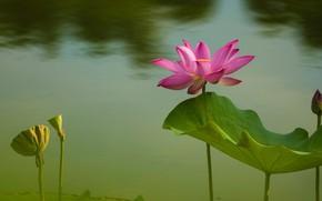 Картинка цветок, листья, вода, цветы, природа, пруд, фон, розовый, лепестки, бутон, лотос, лотосы, водоем