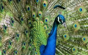 Картинка птица, портрет, перья, веер, хвост, павлин, яркое оперение, хвост веером