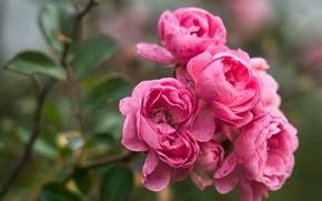 Картинка макро, розы, ветка, розовые, боке