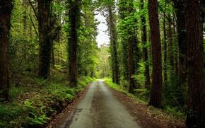 Картинка Зелень, Дорога, Лес, Стволы, Папоротники