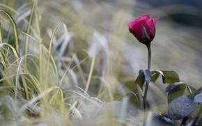 Картинка цветок, трава, макро, природа, роза